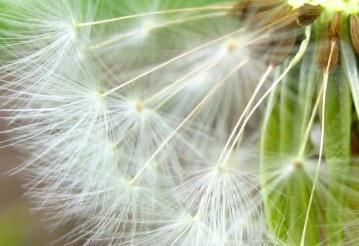 dandeliontime