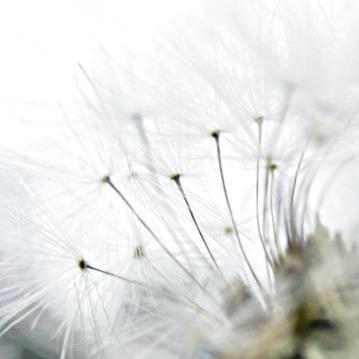 white fairy dandelion