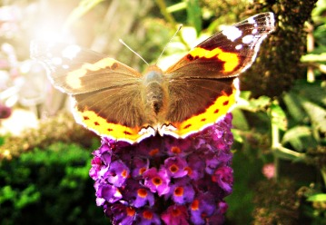 red admiral,